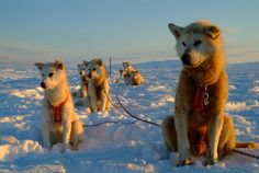 Are we going soon? Dog sleds in the winter day light in East Greenland