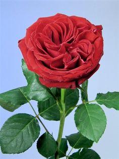 Rouge Royale Garden Rose