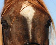 TRUE VISION (True Colours [Thee Desperado x Deheda by Dalul] x Eastwinds Elluscion ( BA Minstril Bay x Shahelia) 2004 chestnut SEm stallion bred by Charaway Arabians, Australia