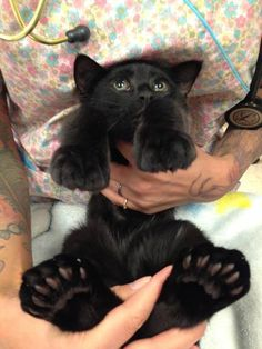 This beautiful kitty with giant toes and feet was taken in by Panda Paws Rescue. This is her being held by the veterinary staff, showing off her big feet and many toes. Like my kitty 😊 I Love Cats, Crazy Cats, Cool Cats, Cute Kittens, Cats And Kittens, Cats Bus, Cats Meowing, Beautiful Cats, Animals Beautiful