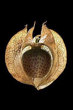 Apple of Peru Seed Pods and Seed Picture , Photo Metaphor and Inspiration . Apple of Peru 15 Organic Form, Organic Shapes, Planting Seeds, Planting Flowers, Kintsugi, Foto Art, Seed Pods, Patterns In Nature, Natural Forms
