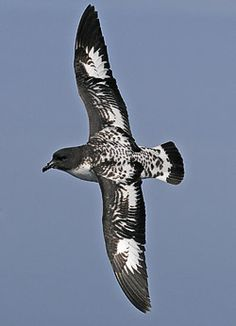Cape Petrel (Pete Morris) - The Cape petrel, also called Cape pigeon or pintado petrel, is a common seabird of the Southern Ocean from the family Procellariidae. It is the only member of the genus Daption, and is allied to the fulmarine petrels, and the giant petrels.