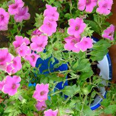 How sweet is this #bubblegum petunia? #mossmountainfarm #provenwinners #crescentgarden #joy #sharethebounty