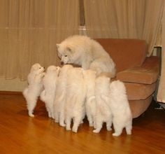 samoyed puppies <3 <3 <3 <3