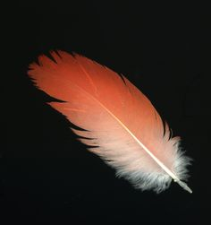 cardinal feather picture - Google Search Feather Drawing, Feather Tattoo Design, Feather Wall Art, Feather Photography, Cute Photography, Dream Catcher Art, Native American Patterns, African Grey Parrot, Pretty Tattoos