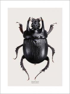 Beautiful Dung Beetle