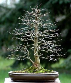Acer buergerianum/Trident Maple