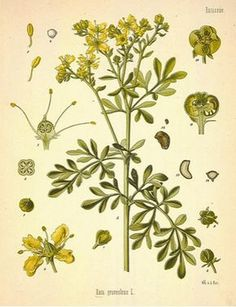 Ruda, una planta medicinal para varices, inflamación o dolor de cabeza y muscular ecoagricultor.com