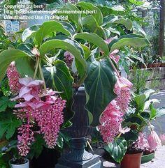 medinilla magnifica for sale | PlantFiles Pictures: Showy Medinilla (Medinilla magnifica) 15 by bert