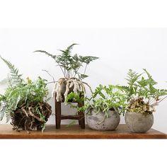 初夏に良さげな涼しげで根茎エグい系など#ayanas #plants#アナス#観葉植物ヤ。| SnapWidget