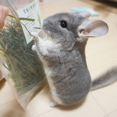 Always wanted a Chinchilla! Super Cute Animals, Cute Baby Animals, Animals And Pets, Funny Animals, Chinchillas, Hamsters, Rodents, Chinchilla Cute, Paludarium