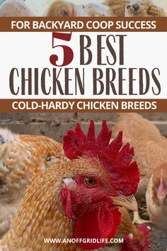 We have a flock of over 30 chickens at our off grid homestead in the Canadian subarctic. These five breeds are our picks for a cold-hardy flock. #backyardchickens #poultry #chickensofinstagram #homestead #anoffgridlife Meat Chickens Breeds, Laying Chickens, Raising Backyard Chickens, Chicken Breeds, Backyard Coop, Backyard Farmer, Barred Plymouth Rock Chickens, Leghorn Chickens, Long Term Food Storage
