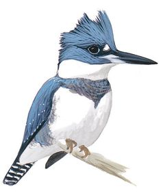 Belted Kingfisher -  Megaceryle alcyon Birds of North America Field Guide | Audubon