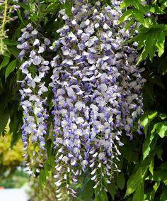 Vistárie Herbs, Fruit, Plants, Herb, Plant, Planets, Medicinal Plants
