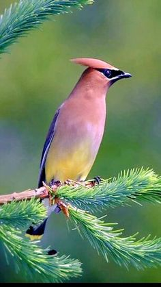 The cedar waxwing (Bombycilla cedrorum)
