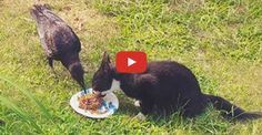 Amazing Footage of a #Crow Caring For an #Abandoned #Kitten