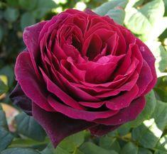 Black Caviar rose