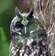 The Stygian Owl (Asio stygius) lives in South America, and parts of Central America occuping a variety of deciduous and evergreen forests.