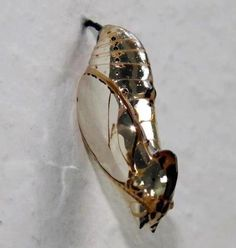 The chrysalis of the Orange-spotted tiger clearwing looks like its encased in metal.