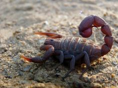 Top 10 Most Dangerous Scorpions of the world