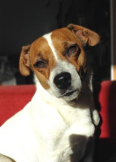 Chelsea, Jack Russell