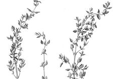 Thyme Stems & Leaves Pencil Drawing by anna.repp on @creativemarket