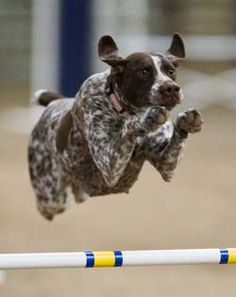 "Diamond Creek Sporting Dogs - Breeders of Champion German Shorthaired Pointers and Brittanys ""Home of the Versatile Hunter"""