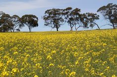 Canola - a very common sight throughout the Barossa Valley.