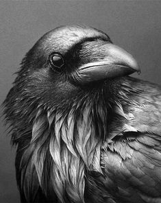 """"""" alwayssaltymiracle: """"Noir Raven """" """"Ravens and other members of the corvid family (crows, jays, and magpies) are known to be intelligent. They can remember individual human faces, expertly navigate human environments (like trash cans),. Raven And Wolf, Quoth The Raven, Raven Bird, Crow Or Raven, Raven Wings, The Crow, Crow Art, Bird Art, Corvo Tattoo"""