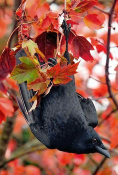 As the Crow flies. Pretty Birds, Love Birds, Beautiful Birds, Beautiful Things, The Crow, Merle, Quoth The Raven, Raven Art, Jackdaw