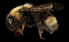 Just one day before the bees were supposed to get official protection, the Trump administration postponed the move.