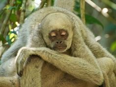 Northern Muriqui (Brachyteles hypoxanthus) taking a nap | Flickr - Photo Sharing!