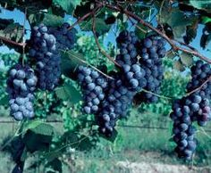 Plant Manual for Concord Grapes