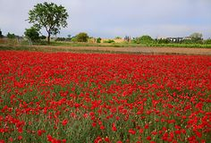 A field of poppies via Playing With Food: Something Red Wild Flower Meadow, Wild Flowers, Tulip Fields, Poppy Fields, Landscape Photos, Landscape Photography, Countryside Landscape, Future Farms, Kingdom Of Great Britain