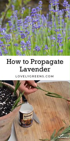 Instructions on how to propagate lavender from cuttings. Works for all types of lavender and cuttings from new or semi-hard wood. Full DIY video #herbs #growlavender #flowergarden