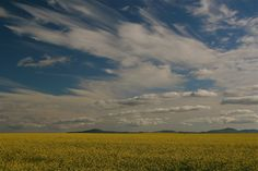 Blue skies & canola - Swartland Blue Skies, South Africa, Clouds, Sky, Outdoor, Beautiful, Heaven, Outdoors, Outdoor Games