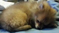 Kitsune sleeping
