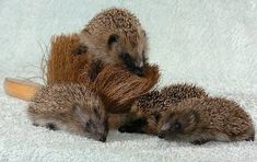 Orphaned hedgehogs adopt cleaning brush as their mother. Oh the feels!