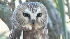 The Northern Saw-Whet Owl gives us a quick look...