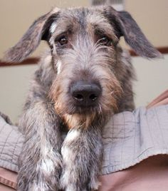Irish Wolfhound Puppies For Sale by Best Dog Breeders