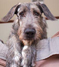 Irish Wolfhound Puppies For Sale by Best Dog Breeders