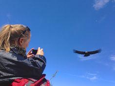 Pérou - Majestueux Condor des Andes... Vidéo à voir ici : http://vetcaetera.com/2013/07/09/majestueux-condor-des-andes/