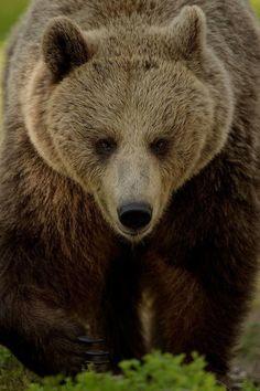 Brown Bear Beauty