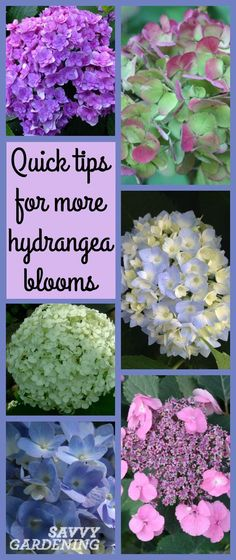 hydrangea garden care Use these quick tips to get more bloom. hydrangea garden care Use these quick tips to get more blooms from your hydrangeas. Hortensia Hydrangea, Hydrangea Care, Hydrangea Not Blooming, When Do Hydrangeas Bloom, Types Of Hydrangeas, Hydrangea Bloom, Hydrangea Colors, Garden Care, Garden Shrubs
