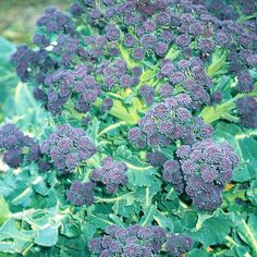 """Broccoli : Summer Purple. Sprouting Broccoli 'Summer Purple' is specially bred for summer cropping, with good heat tolerance and no need for winter chilling (vernalisation) to produce its tasty purple spears. This robust, British bred variety produces high yields with regular picking, and crops from July to November if sown at regular intervals. Height: 90cm (35""""). Spread: 60cm (24"""")."""