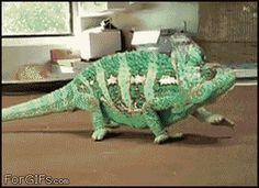 I need a chameleon