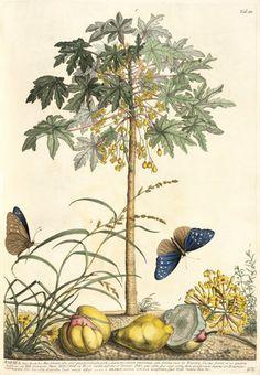 Georg Dionysius Ehret -- 1. Papaya, 2. Ana gallis, 3. Gramen -- Georg Dionysius Ehret -- Artists -- RHS Prints