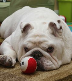 Cheerio, an English #bulldog, is a patient of Dr. Allyson Berent in Interventional Endoscopy. We hope you're feeling much better, cutie pie!#pets