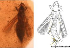 Amber preserves insect pollen carriers.......and people?!