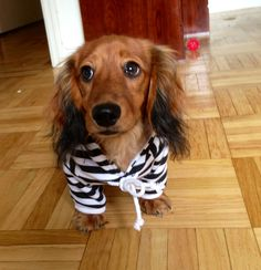 Wanted! For melting hearts worldwide. #cutiepie #Dachshund